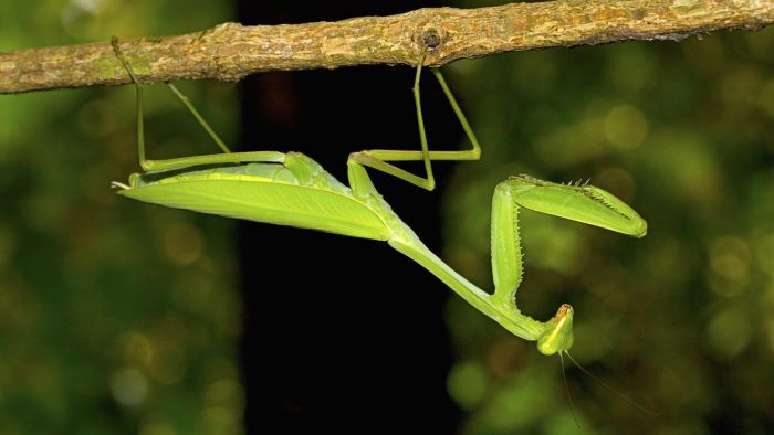 What are some facts about the praying mantis?