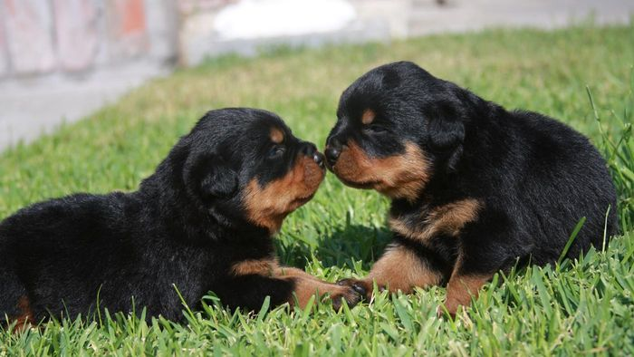 Where can you advertise puppies for sale?