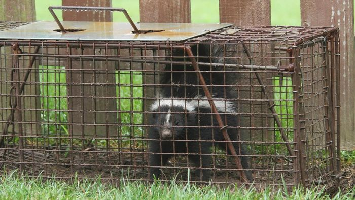 What are some ways to trap a skunk?