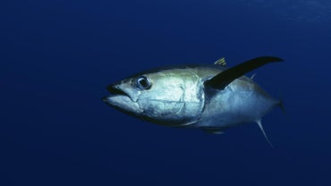 What Is Ahi Tuna?