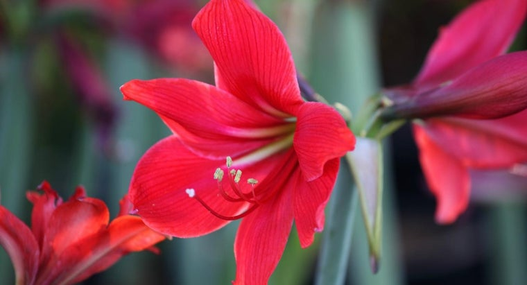 How Do You Get an Amaryllis Plant to Flower?