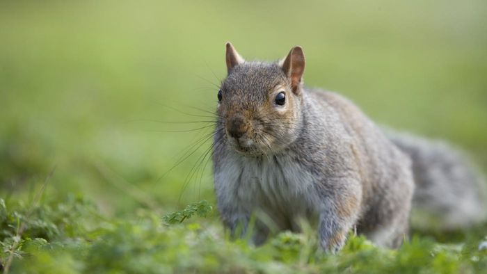 How do you keep squirrels out of an attic - How do you keep squirrels out of your garden ...