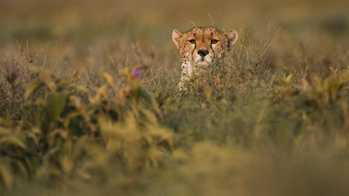 What Is a Cheetah's Natural Habitat?