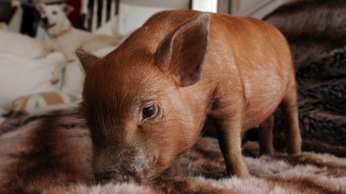 Where Can You Get a Free Teacup Pig?