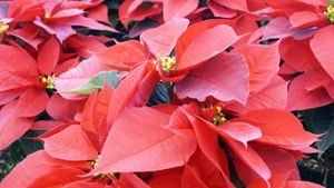 How Do You Care for Poinsettias in Your Home?