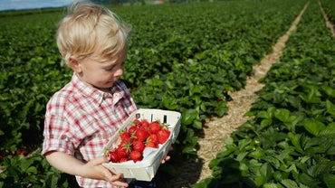 How Do You Grow Strawberries?
