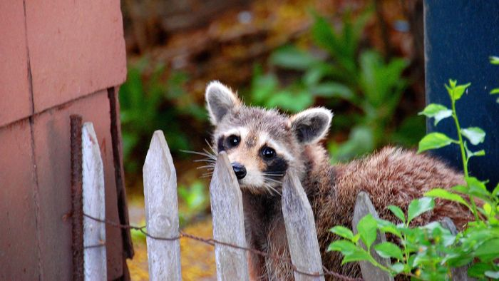 How Do Animal Control Workers Humanely Remove Raccoons?