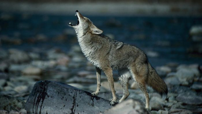 How can you listen to audio of coyotes?