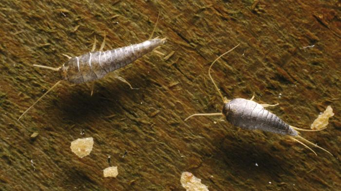 How Do You Kill Silverfish?