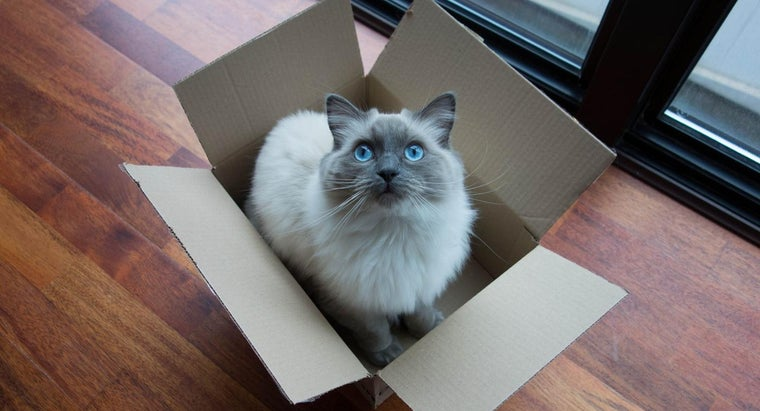 How Can You Adopt Rescue Cats of the Ragdoll Breed?