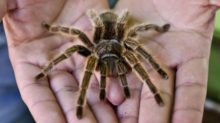What Are Some Tarantula Facts for Kids?