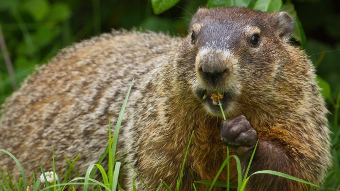 What Are Some Humane Tips for Getting Rid of Groundhogs?