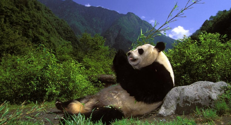 What Are Some Fun Facts About Pandas?