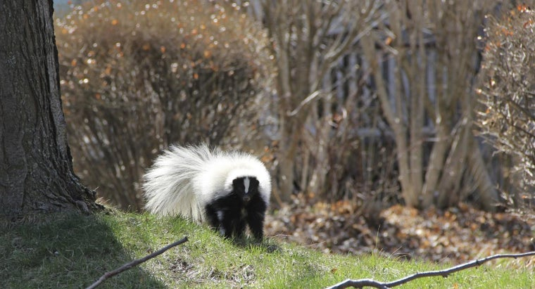 How Do You Keep Skunks Out of Your Yard?