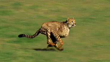How Is the Food Chain Affected If the Cheetah Went Extinct?