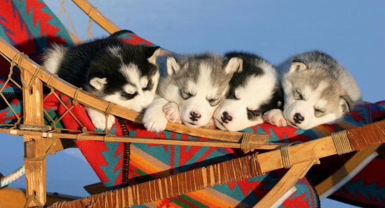 How Are Miniature Husky Puppies Different From Other Husky Puppies?