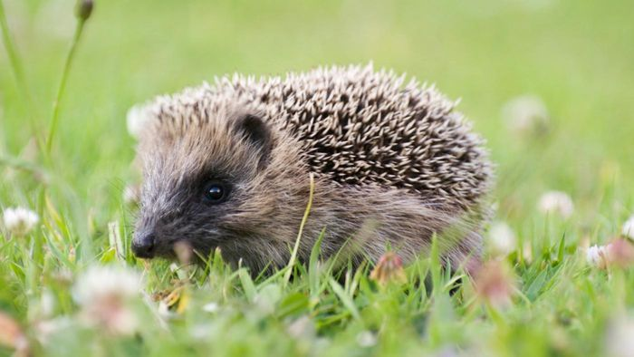 Is It Legal to Buy a Hedgehog As a Pet?