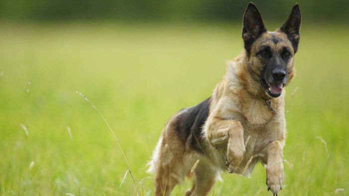 What Characteristics Do German Shepherd Dogs Have?