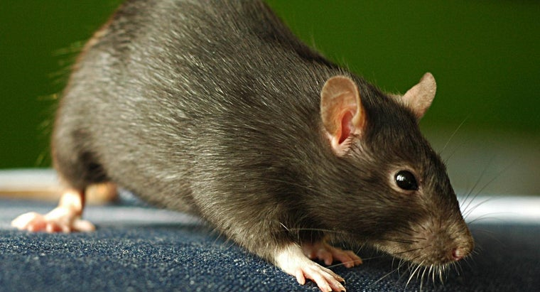 What Is the Best Way to Get Rid of Mice?