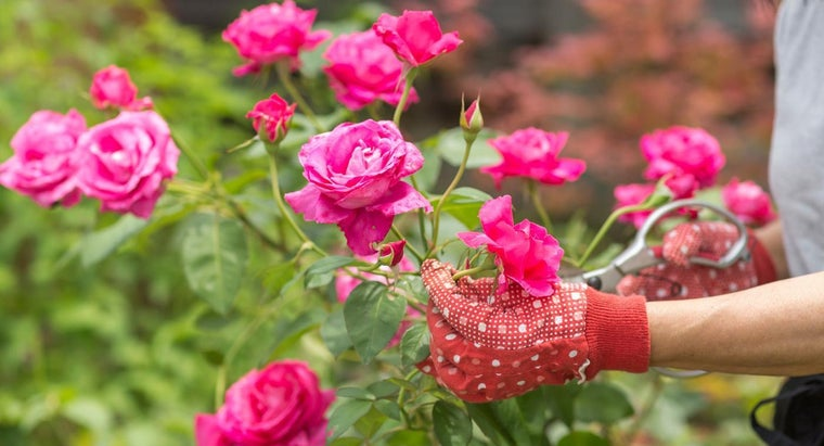 When Do You Prune Roses?