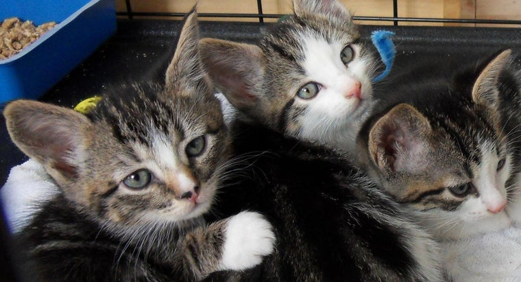 How Do You Find Tabby Kittens for Sale?