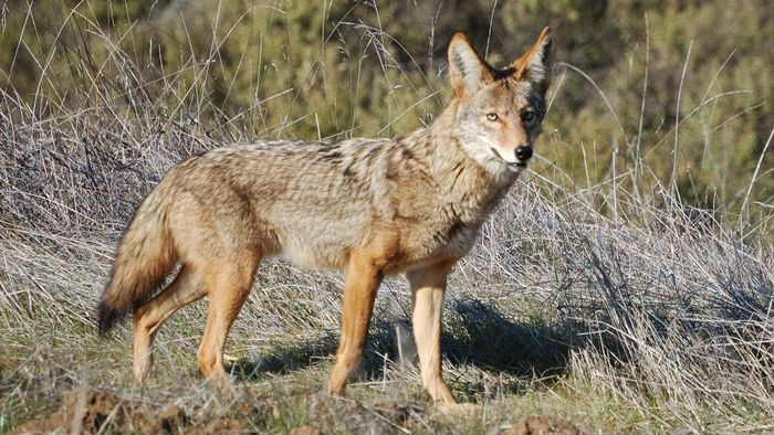 How Do You Find Photographs of Coyotes?