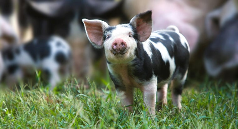 Where Can You Purchase Cheap Baby Pigs?
