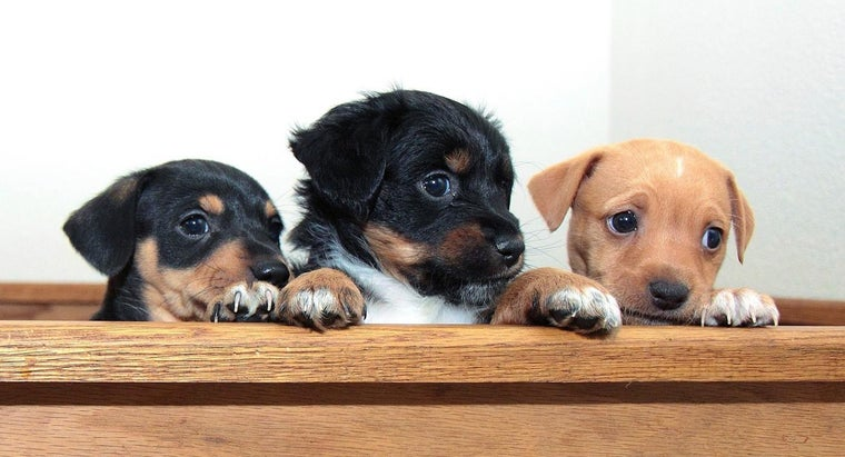Where Can You Get Dachshund Puppies for Free?