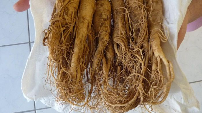How Do You Find People to Buy Your Fresh-Harvested Ginseng?