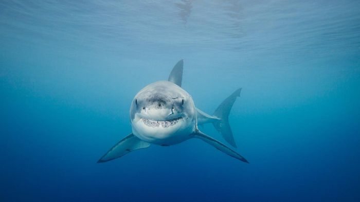 How Does the Great White Shark Evade Predators?
