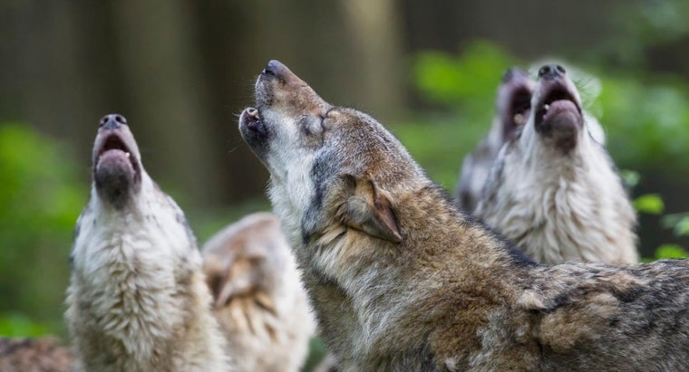 What Is the Approximate Wolf Population in the United States?