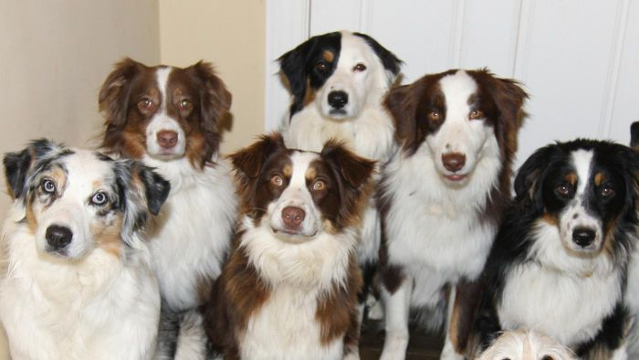 What Organizations Can You Contact About Aussie Rescue?