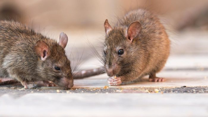 What Are Some Effective Rat Poisons According to Experts?