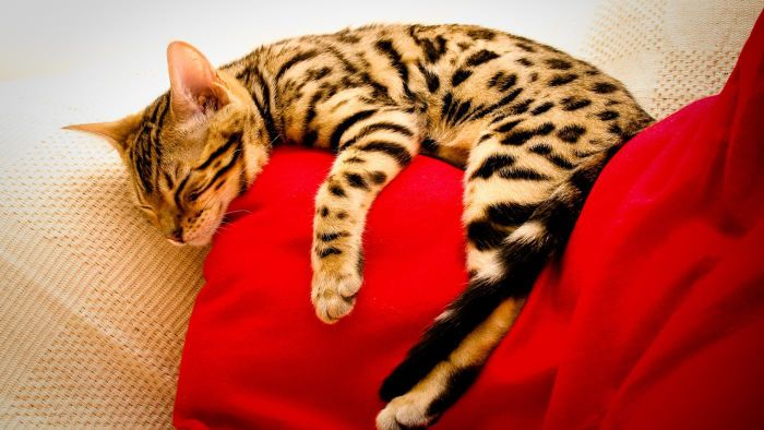 How can you find free Bengal kittens?