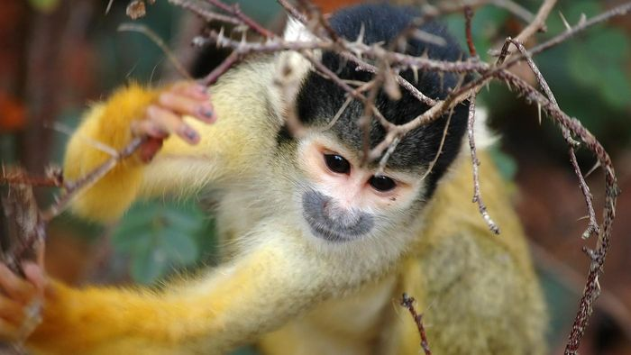 How Does a Squirrel Monkey Protect Itself?