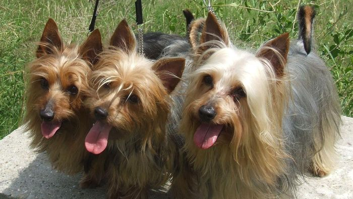 What Are Some Organizations That Rescue Australian Silky Terriers?