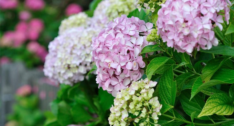 How Do You Care for Hydrangeas?