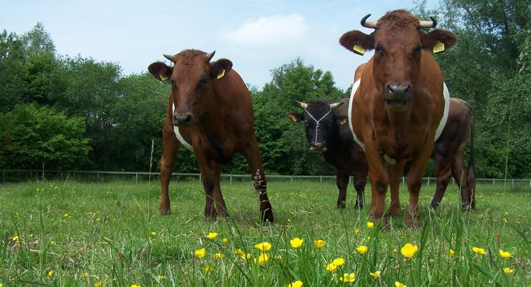 How Do You Breed Bulls and Cows?