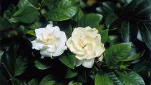 What Is the Best Way to Care for a Gardenia Plant Indoors?