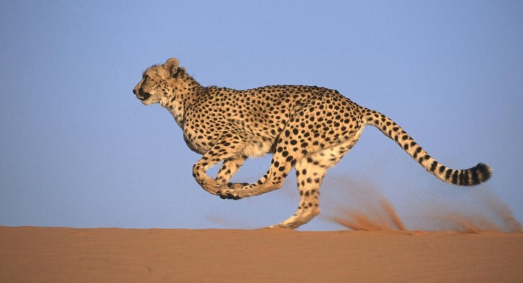 What Are Some Good Facts for Kids to Know About Cheetahs?