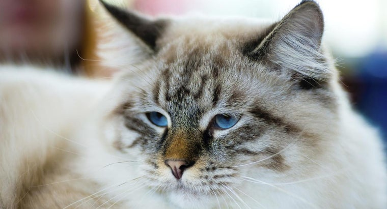 How Do You Find a RagaMuffin Kitten to Adopt?