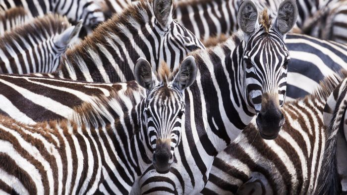 What Are Some Interesting Facts About Zebras?