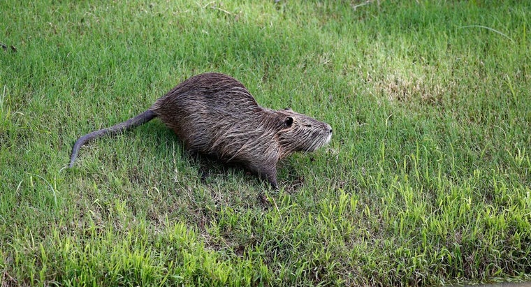What Are Some Facts About Muskrats?