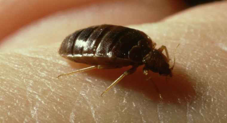 What Do Bedbugs Look Like at Different Stages of Their Life Cycle?