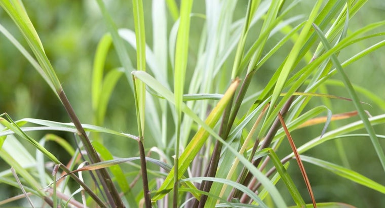 What Is a Citronella Plant?