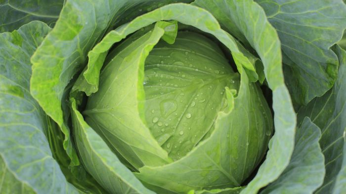 Where Can You Find Easy Recipes for Cabbage Rolls?