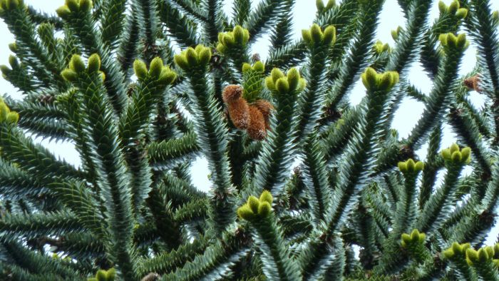 What Are Some Common Problems With Monkey Puzzle Trees?