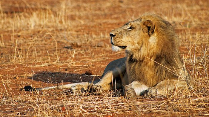 What Are Some Fun Lion Facts for Kids?