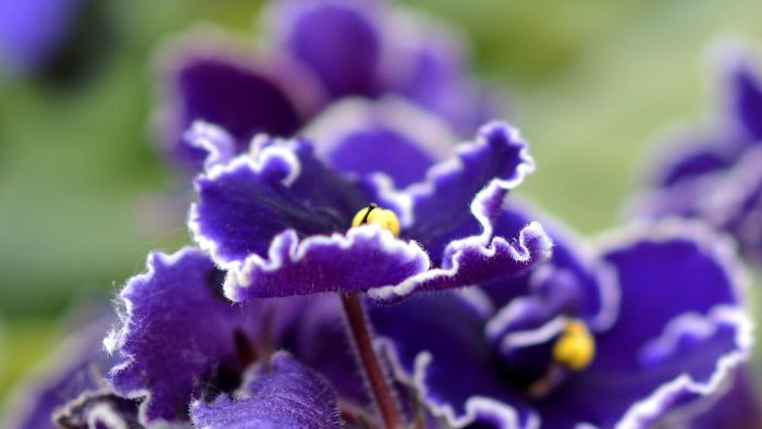 How to you care for African violets?