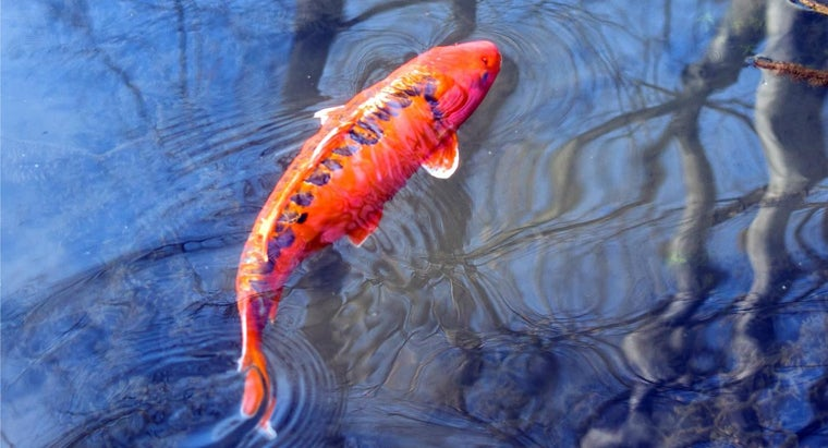 What Is the Meaning of Koi Fish Tattoos?